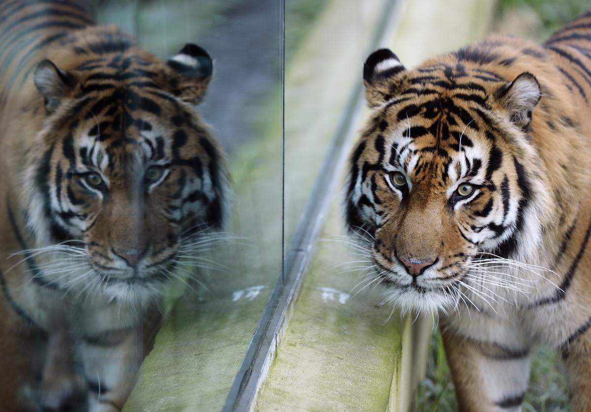A Sumatran Tiger walks around his enclosure during a photocall at ZSL, London Zoo's annual 'Stocktake' on January 3, 2017 in London, England. Zoological Society of London (ZSL), is home to over 650 different species of animal, which all need to be counted and cataloged during the annual stocktake, which is a compulsory requirement for their zoo license.
