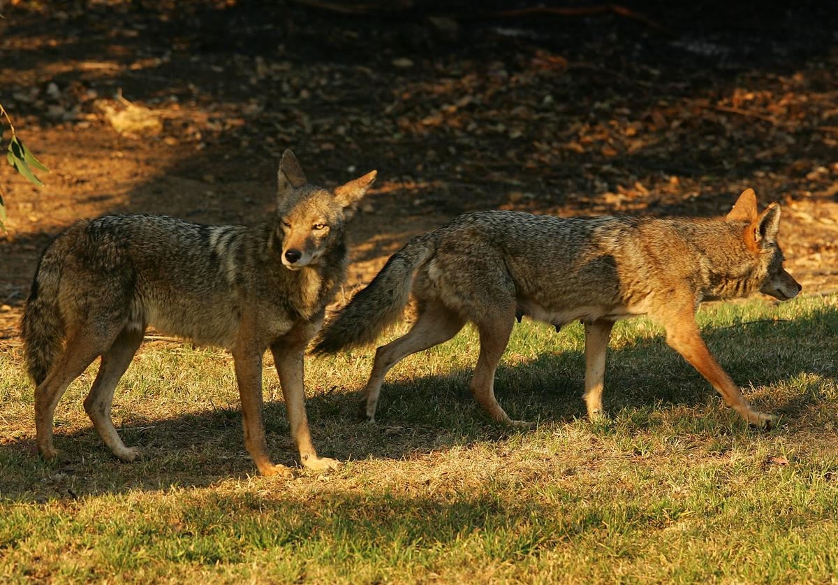Two coyotes, one of them a nursing mother (R) walking with a limp, walk on grass at the edge of scorched earth in Griffith Park, the nation's largest urban park, after fleeing flames on May 9, 2007 in Los Angeles, California