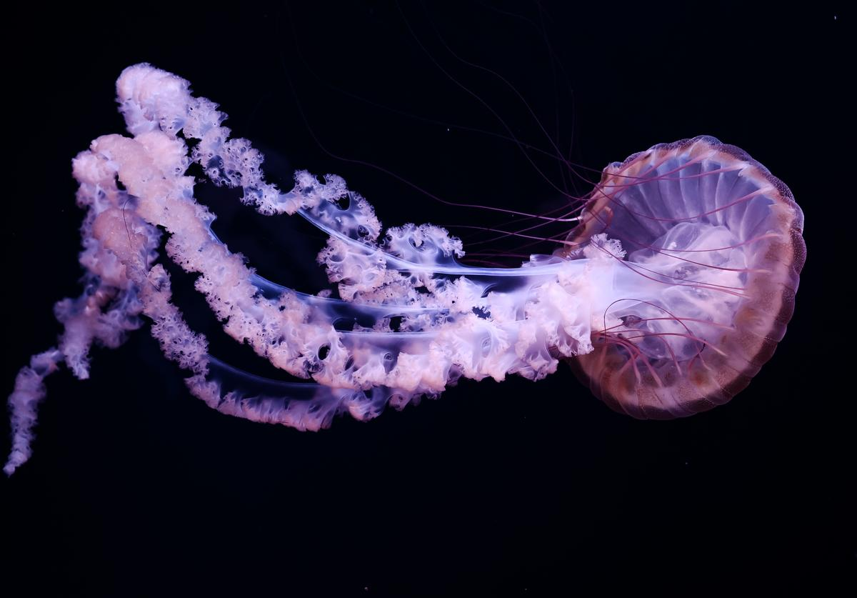 This picture taken on January 16, 2019 shows a jellyfish in a tank during the opening of the new Jellyfish section of the Aquarium of Paris