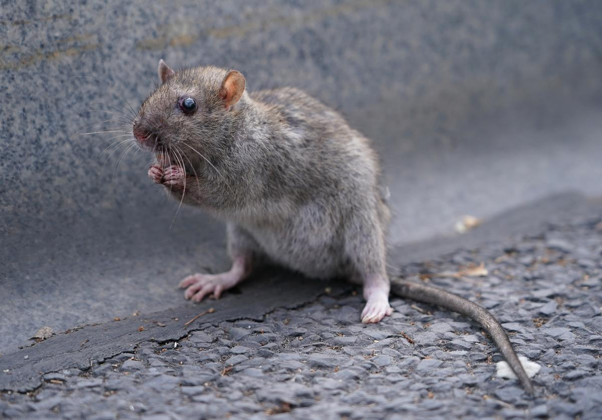 Rat, Nyc, outdoor dining