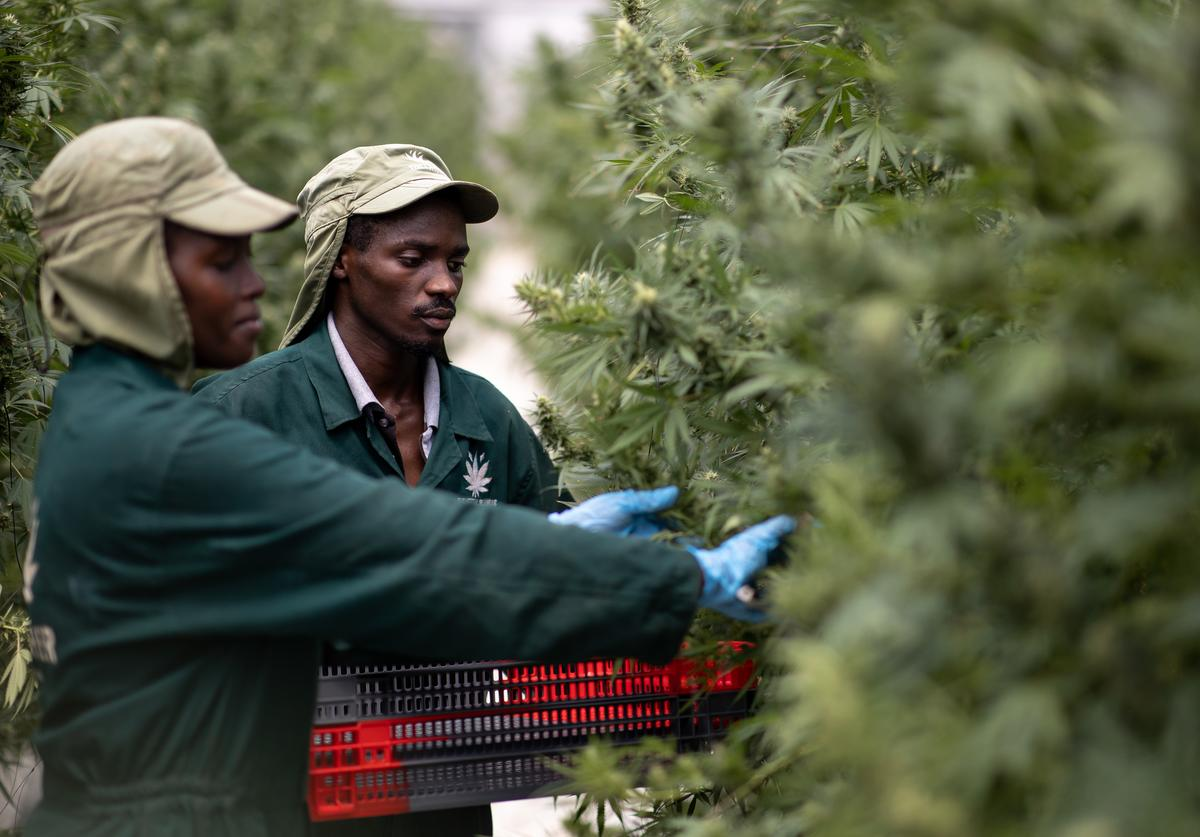 Cannabis farm workers pick flowers on November 10, 2020 in Kasese, Uganda. Uganda is one of several African countries looking to produce medical cannabis for export to Europe and America. Since 2017, five countries on the continent have legalized the farming of cannabis for medicinal or industrial use.