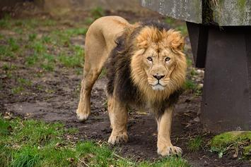 Lion Killed After Fatally Attacking Conservatory Intern
