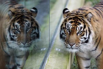 Tiger Found In Vacant Home In Houston By Resident Trying To Smoke Weed
