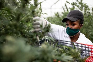 Jamaica Faces A Marijuana Shortage Due To Drought & COVID-19