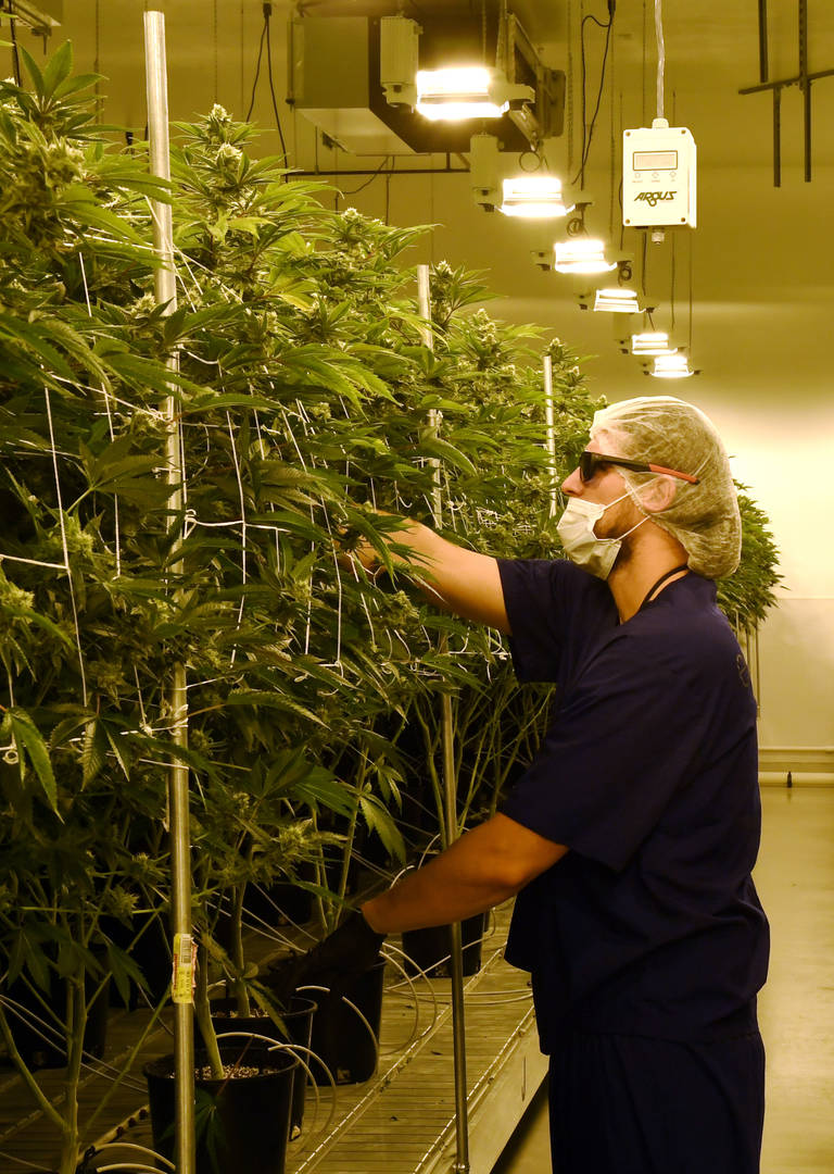 College Cannabis Courses Gain Popularity Across The Country