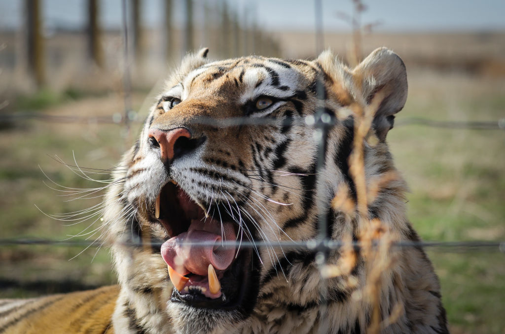 One of the 39 tigers rescued in 2017 from Joe Exotic's G.W. Exotic Animal Park yawns at the Wild Animal Sanctuary on April 5, 2020 in Keenesburg, Colorado.