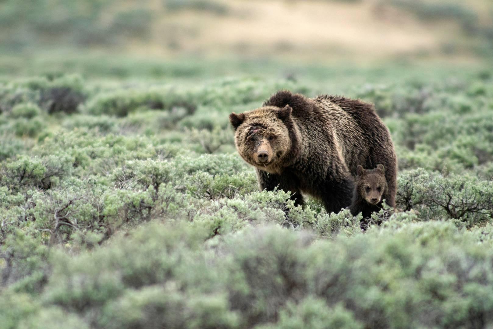 USA, Rockie Mountains, Wyoming, Yellowstone, National Park, UNESCO, World Heritage,Grizzly mon with cub